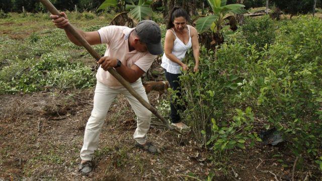 Hombre y mujer quitan plantas de coca (Foto: Natalio Cosoy/ BBC Mundo)