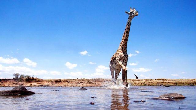 Жирафы - самые высокие из сухопутных млекопитающих