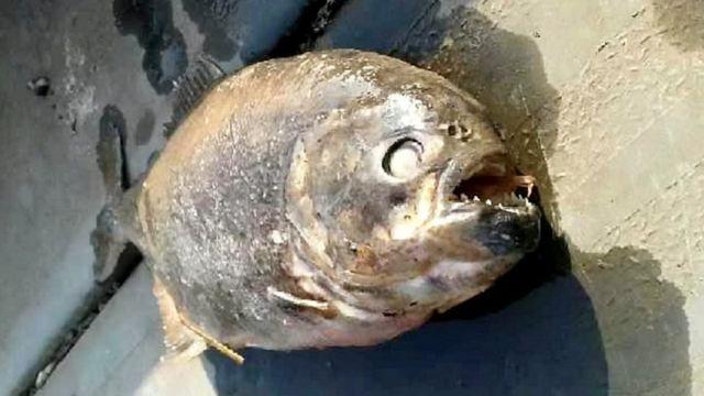 Peixe encontrado no lago Doncaster