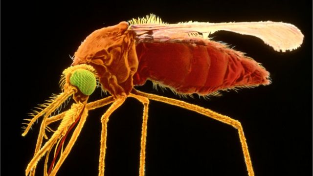 Scientists create infertile mosquitoes