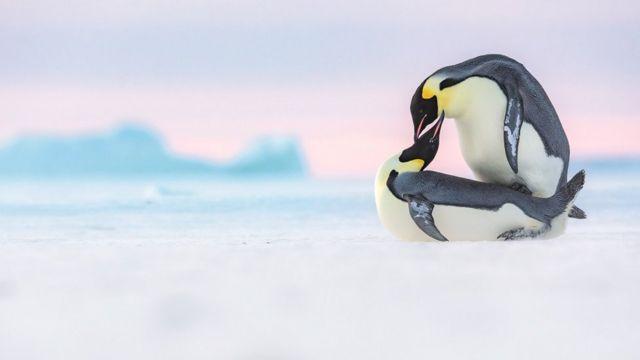 Два пингвина играют друг с другом