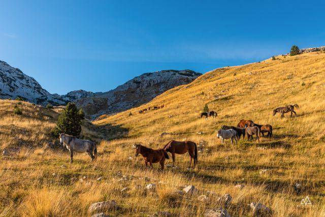 bosanski brdski konj na prenju