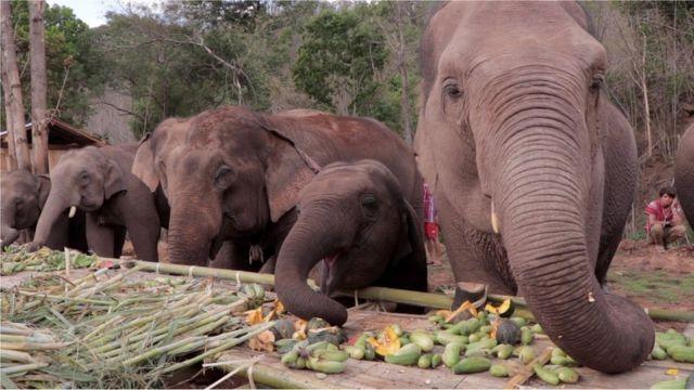 ช้างบ้านกลับถิ่น