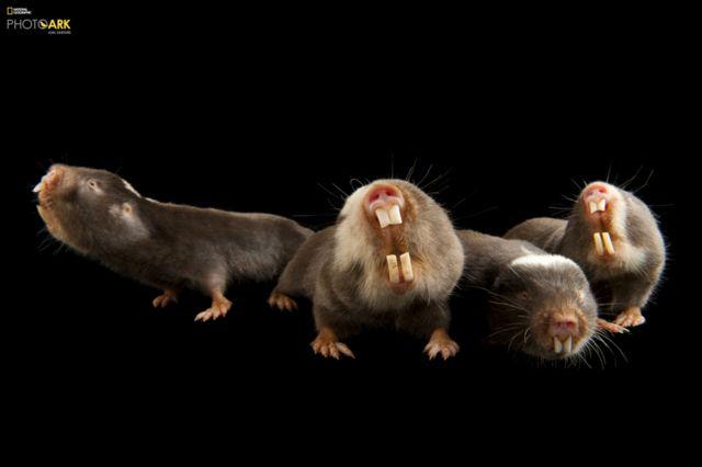 Damaraland köstəbək siçovulları (Fukomys damarensis) Houston Zooparkı, Houston Texas © Joel Sartore/National Geographic Photo Ark