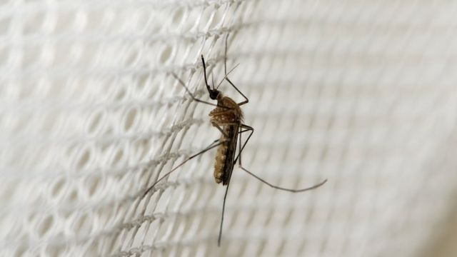 A mosquito on a net