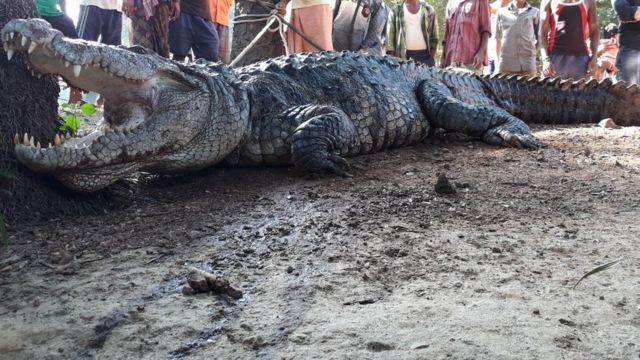 The 3m (12ft) long crocodile