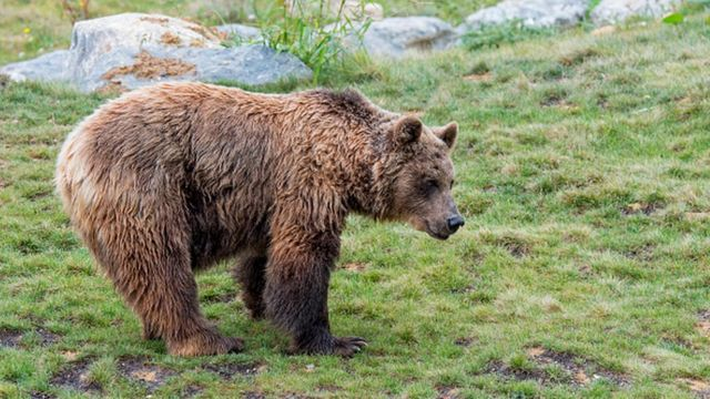 Italy hunts bear after 'genius' escape over electric fences