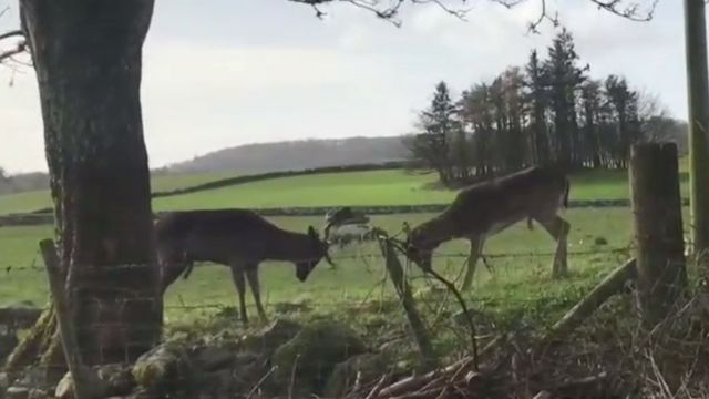 Tangled deer 'very lucky' to be spotted