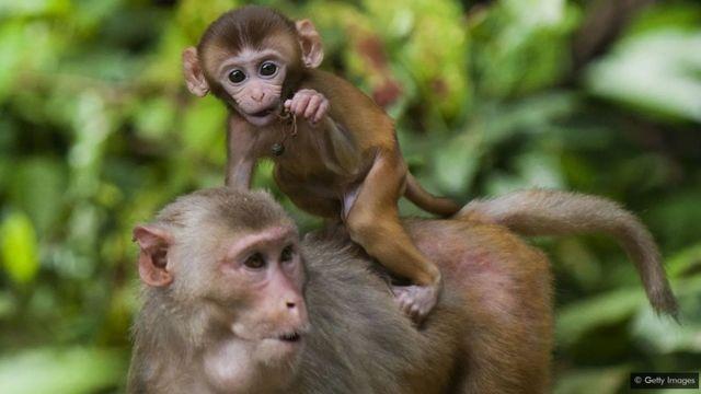 Les singes rhésus soumis à un régime alimentaire plus strict et moins calorique ont vécu plus longtemps