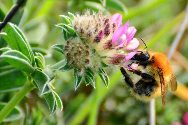 نحلة طنانة على زهرة