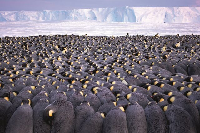 A large huddle of hundreds of penguins