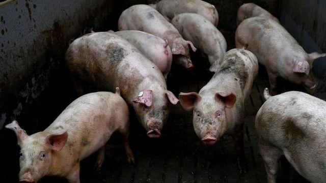 حجم مزارع الخنازير الحديثة يثير مخاوف العلماء كونه يساعد في انتشار الأمراض المعدية بسهولة