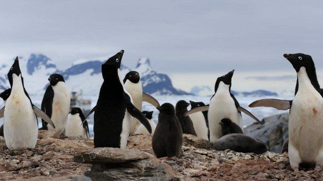 Adelie penguins (c) Victoria Gill