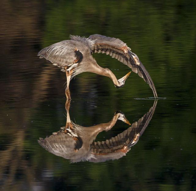 그레이트불루 황새가 물위에 있다.
