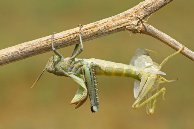 A grasshopper perched on a branch moulting its exoskeleton