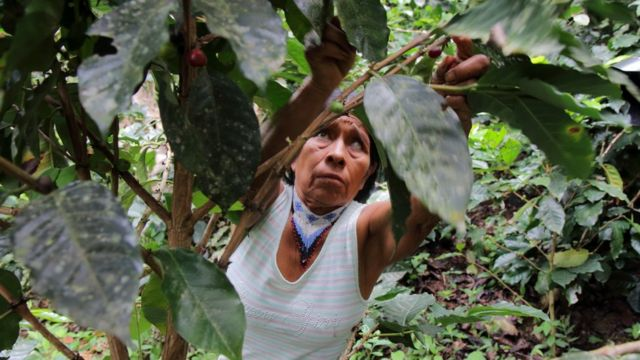 Irene Guasiruma recolhe café