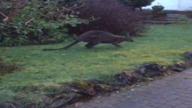 Wallaby in garden