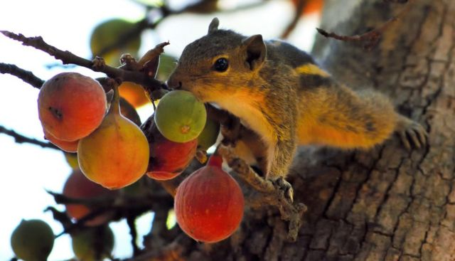 A squirrel reaches out for fruit from a tree