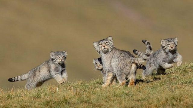 Los gatos de Pallas