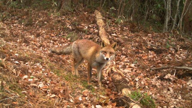 Un zorro rojo mira hacia una de las 106 cámaras que fueron colocadas para estudiar una amplia zona