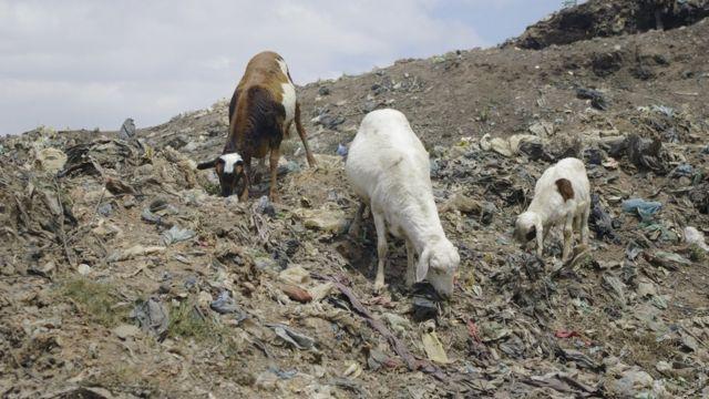 Des animaux viennent paître sur la décharge d'Andralanitra.