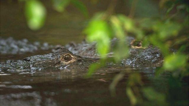 México recuperó su población de cocodrilos en 40 años.