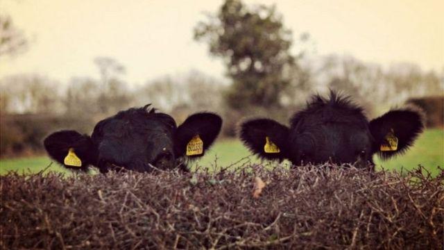 Çalılıkların arkasında 2 tane inek.