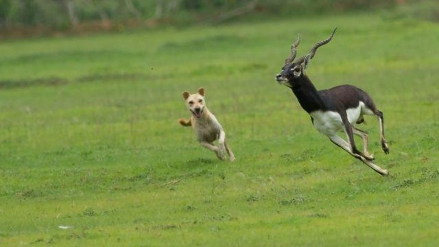 Zaštićene vrste kao što su jelenske antilope na meti su napada divljih i pasa lutalica