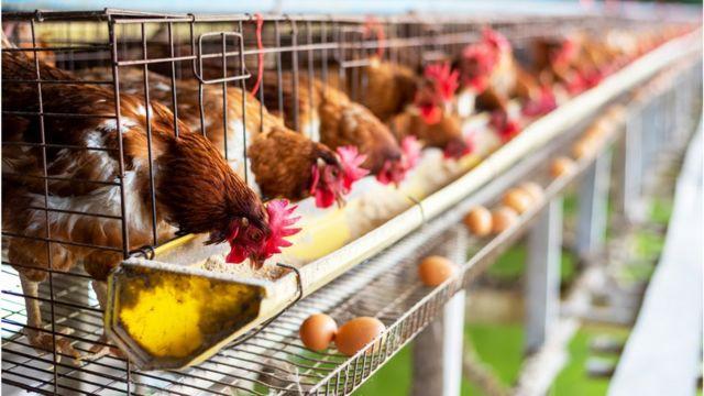 tavuk çiftliği