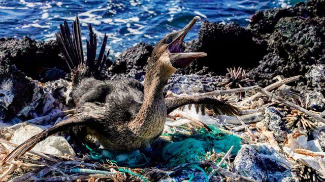 Un cormorán en la Isla Isabela rodeado de plástico