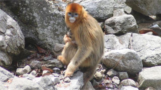 Macacos dourados chineses