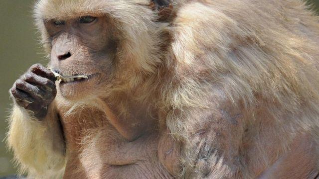 Толстая обезьяна в японском парке
