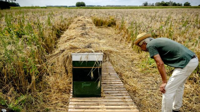 A beekeeper watches a row of unauthorized hives at the Biesbosch in Dordrecht, The Netherlands,