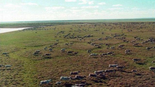 Taymırın vəhşi maralları dünyada ən böyük sürüdür