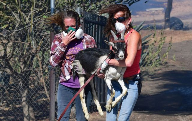 Two women wearing protective masks carry a small goat