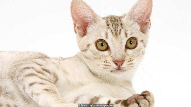Kucing liar, piaraan