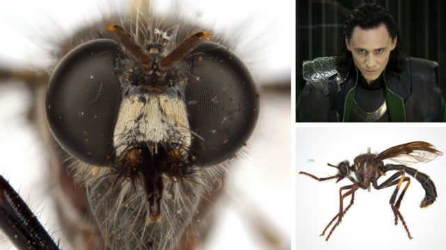 The Loki fly, or Daptolestes illusiolautus, meaning elegant deception