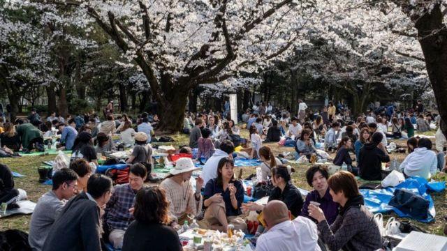 pessoas sentadas em parque sob cerejeiras em flor