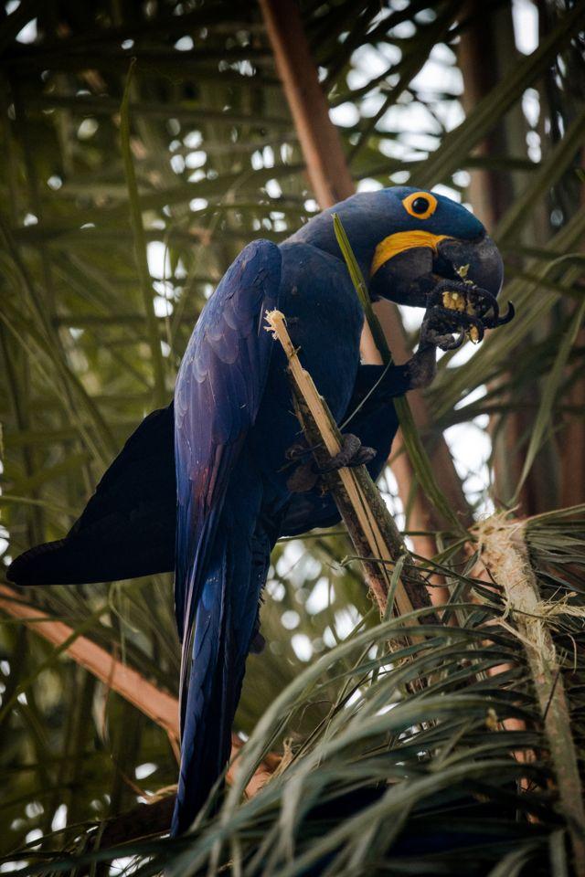 Arara-azul pousa em árvore no Pantanal
