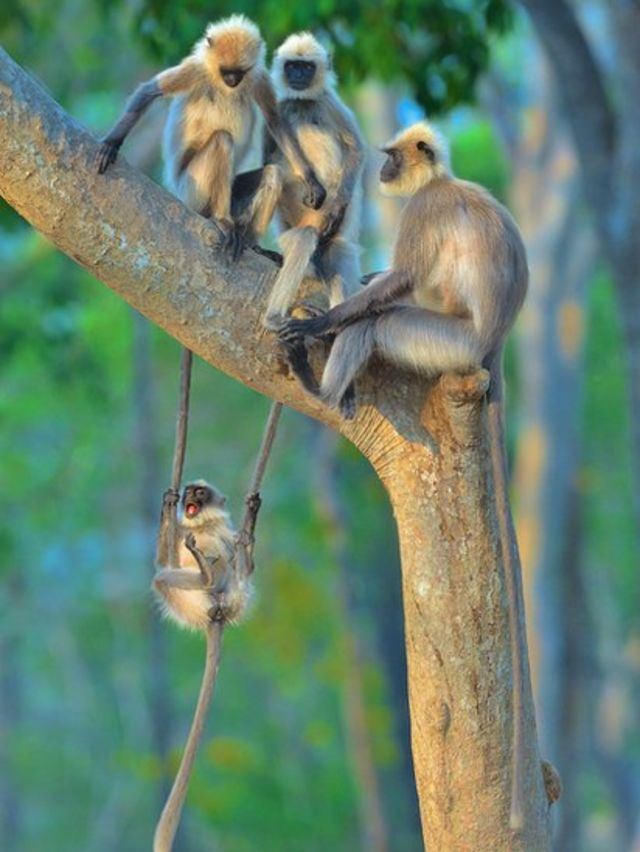A young langur swinging from the tails of its friends