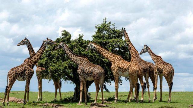 Жирафы обычно едят, склонив шею