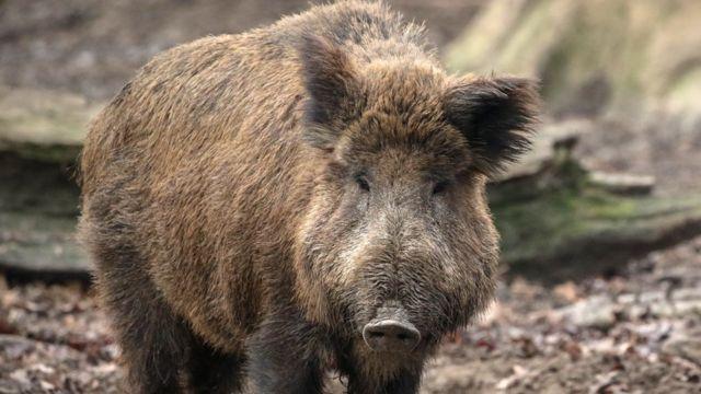 Divlja svinja u severnoj Nemačkoj, 29. decembar 2018.