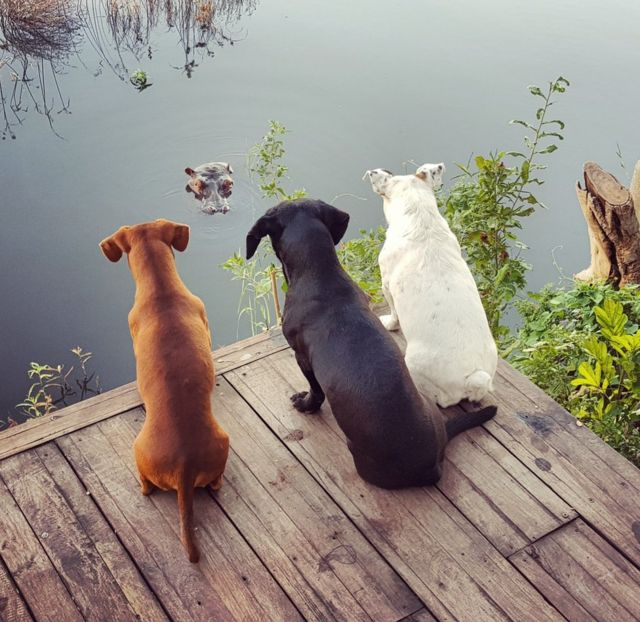 Three dogs look down on to a hippo poking out of a river