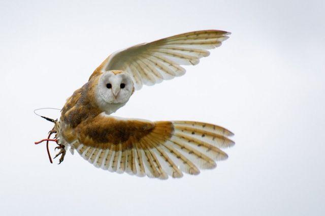 Una lechuza en pleno vuelo