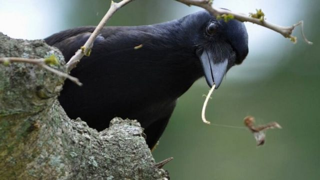 New Caledonian crows show how technology evolves