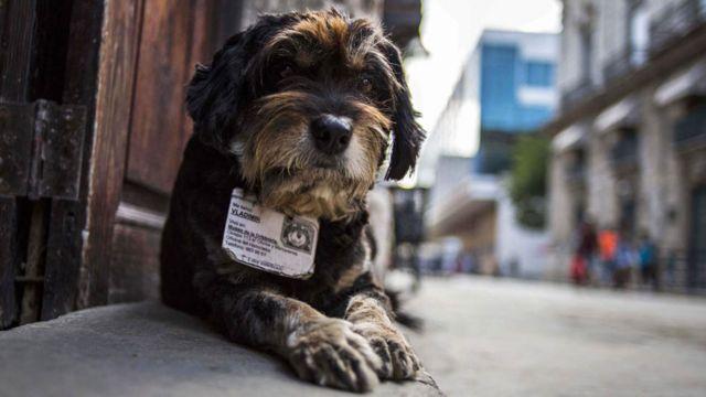 Havana'nın himaye altındaki sokak köpeklerinden Vladimir resimli kimlik kartıyla