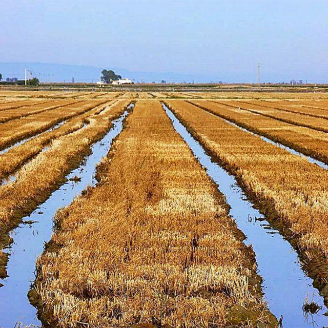campo después de la cosecha de arroz
