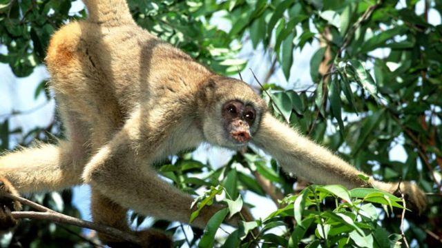 Паукообразная обезьяна: ее фекалии расскажут о ней всё