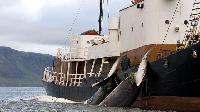 Caza de ballenas en Islandia