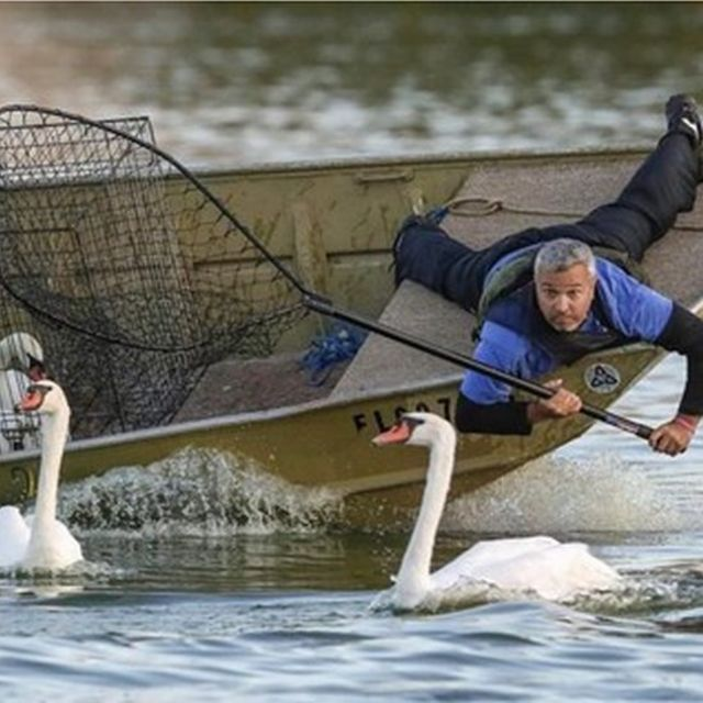 The swans being netted